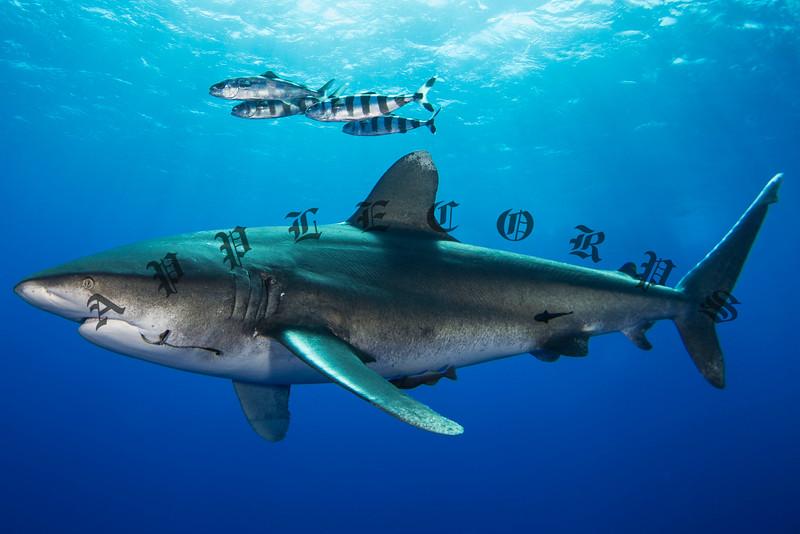 Oceanic White Tip Sharks of Cat Island