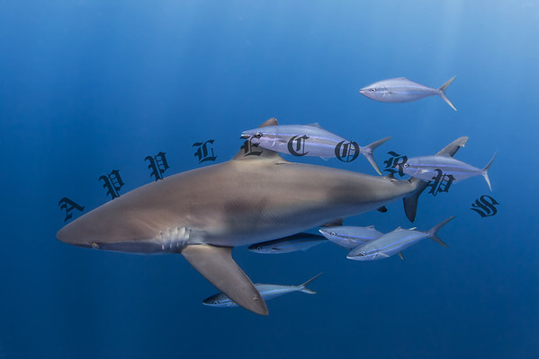 Silky Shark with Rainbow Runners