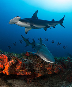 Lemon & Great Hammerhead Over Coral Reef