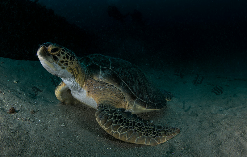 Green Turtle Waking From A Nap