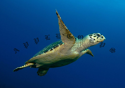 Hawksbill Turtle Flies To The Surface