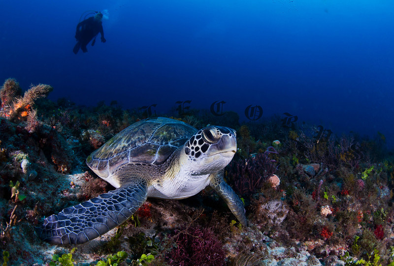 Green Turtle Searching For Food