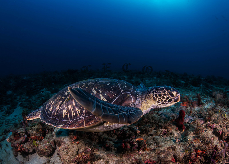 Green Turtle Exploring The Reef