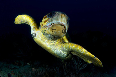 Loggerhead Turtle Begins A Quick Exit