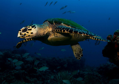 Hawksbill Turtle Takes To Flight Off The Reef