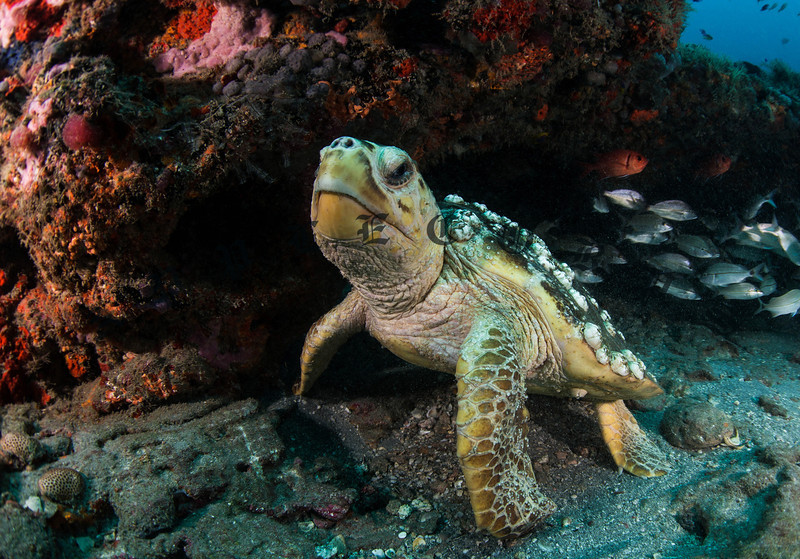 Loggerhead Turtle Just Waking From A Nap