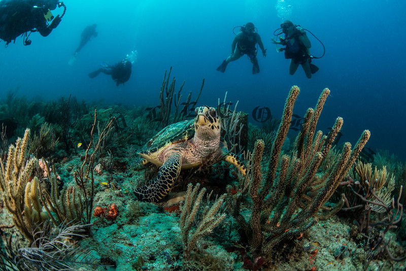 """Hawksbill Turtle Pauses While Snacking To Say """"Hi"""""""