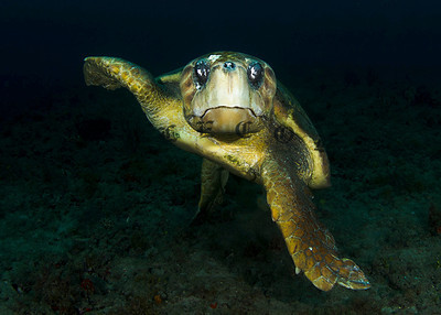Loggerhead Turtle Takes A Defensive Position