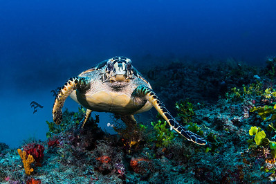 Hawksbill Turtle Rising Above The Reef