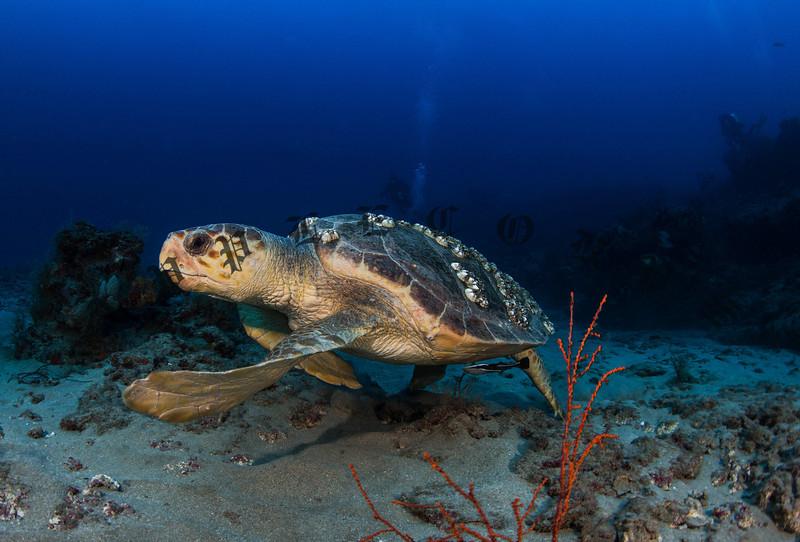 Loggerhead Turtle Steers Away From The Camera