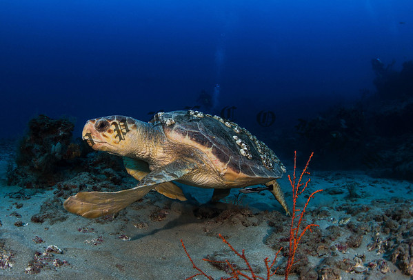 Loggerhead Turtle Steers Away From The Camera