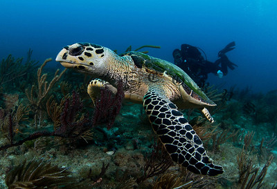 Hawksbill Turtle Starts Her Exit