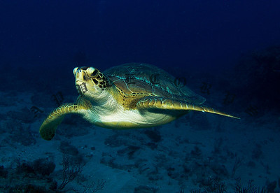Green Turtle Cruising Just Off The Reef Ledge