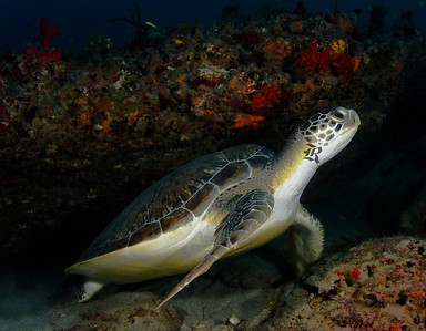 Green Turtle Wakes From A Nap Beneath The Reef Ledge