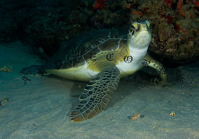 Green Turtle Strikes A Pose For The Camera