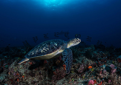 Green Turtle Explores The Reef