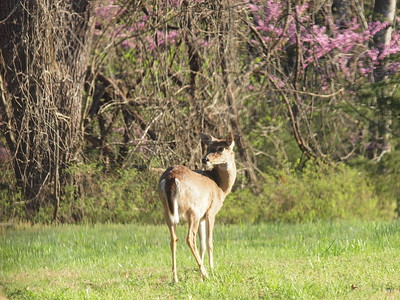 Deer Apco-051