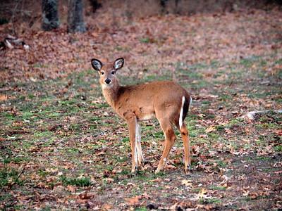 Deer Apco-029