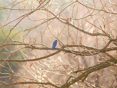 Bluebird-038