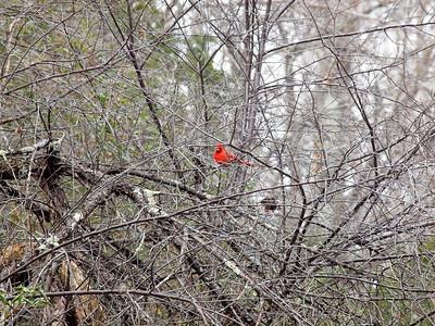 Cardinal-001
