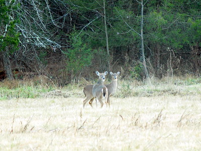 Deer Apco-002