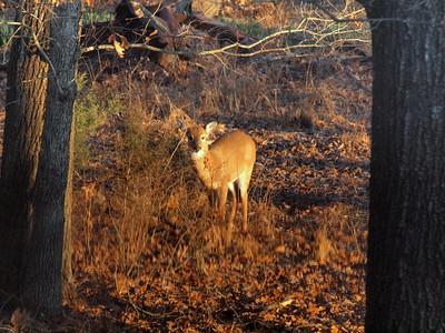 Deer Apco-009