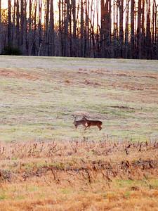 Deer Apco-006