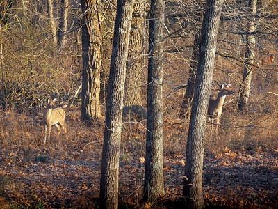 Deer Apco-012