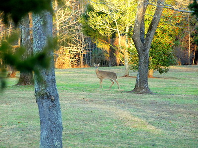 Deer Apco-032