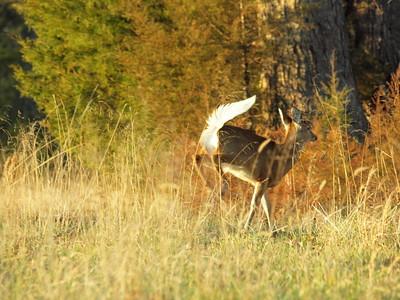 Deer Apco-077