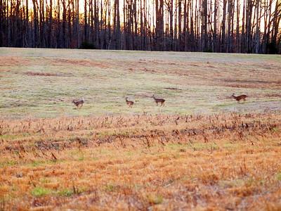 Deer Apco-005