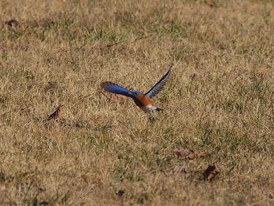 Bluebird-019
