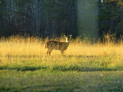 Deer Apco-033