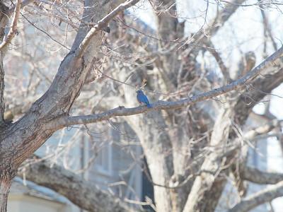 Bluebird-030