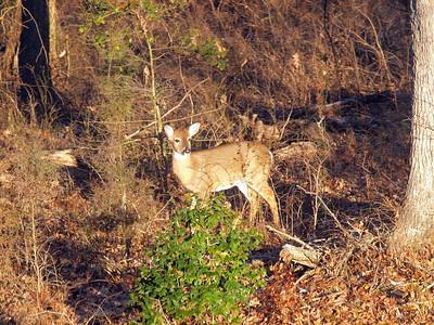 Deer Apco-014