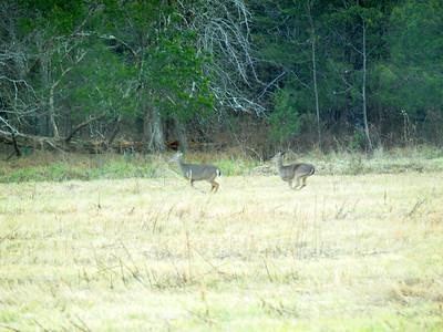 Deer Apco-003