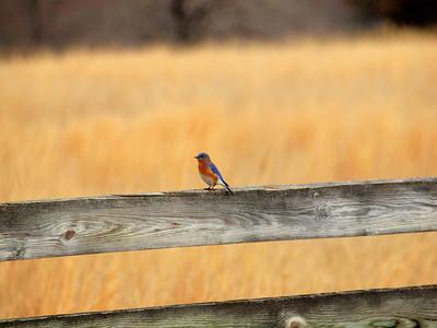 Bluebird-040