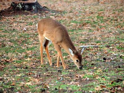 Deer Apco-024