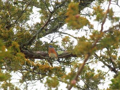 Bluebird-033