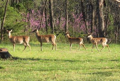 Deer Apco-064