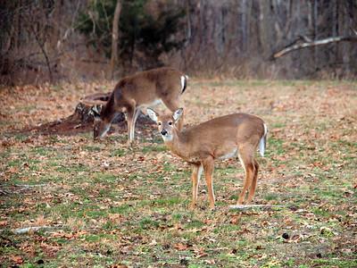 Deer Apco-021