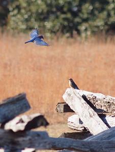 Bluebird-002