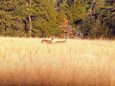 Deer Apco-031