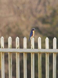 Bluebird-036