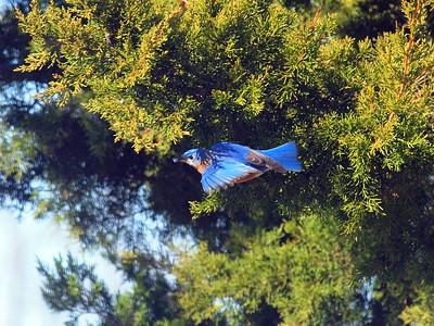 Bluebird Juniper -009