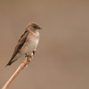 northern rough winged swallow victoria bc