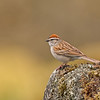 chipping sparrow victoria bc