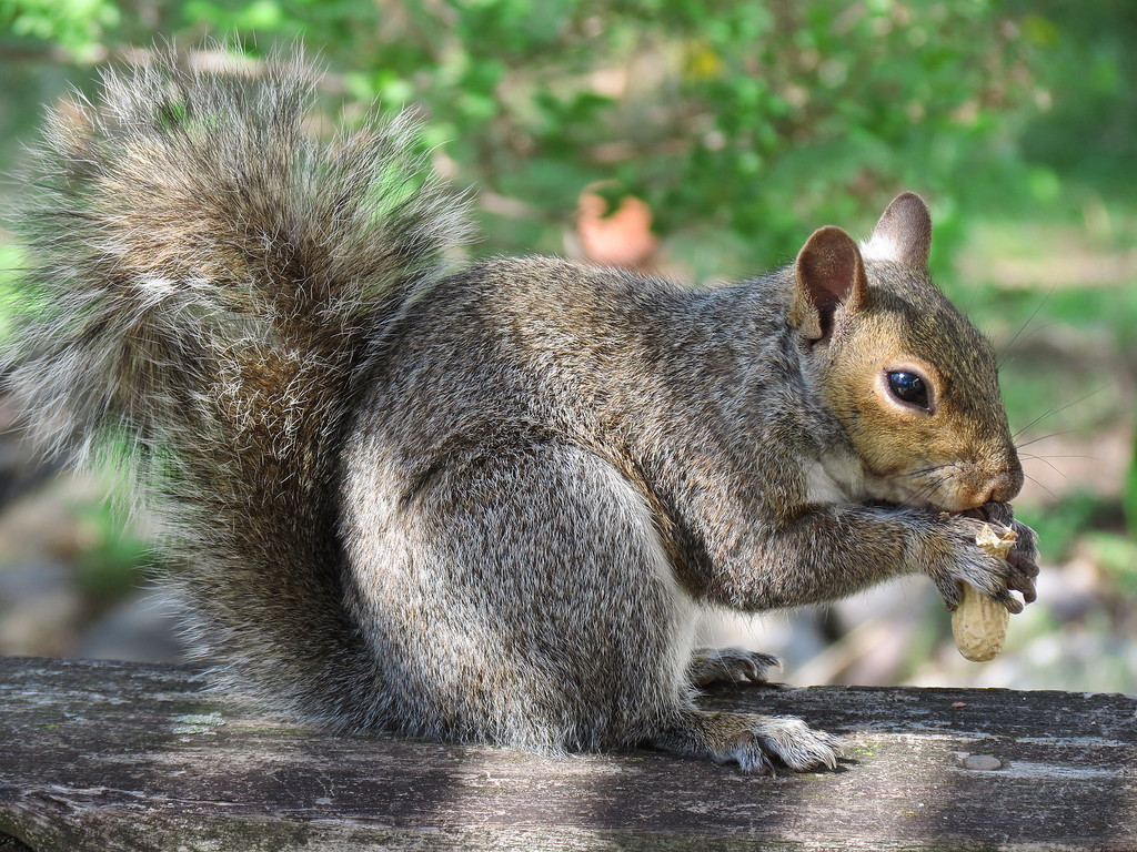 Squirrel eating peanut.