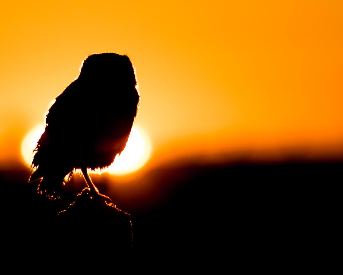 Burrowing Owl at Sunrise