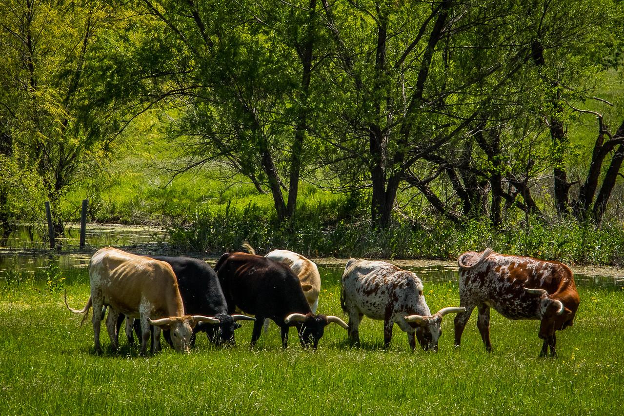 Pretty Longhorns All in a Row
